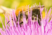 Hummel in Distelblüte by toeffelshop