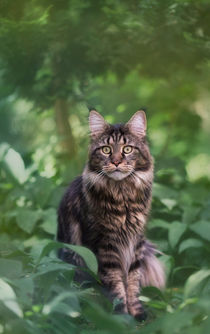 Maine Coon / 80 by Heidi Bollich