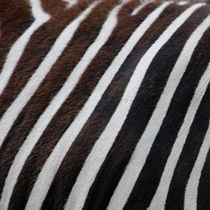 Zebradesign 4 by hannahhanszen