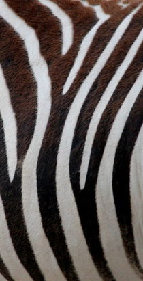 Zebradesign 1 by hannahhanszen