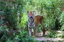 Tiger in der Natur by hannahhanszen