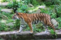 Tiger von hannahhanszen