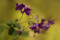Violet columbines by Jarek Blaminsky
