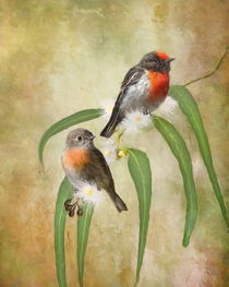 Australian Robin von Trudi Simmonds