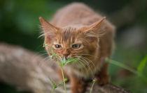 Somali Kitten / 29 von Heidi Bollich