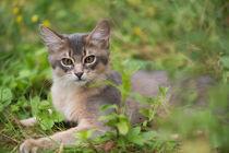 Somali Kitten / 24 von Heidi Bollich