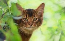 Somali Kitten / 31 von Heidi Bollich