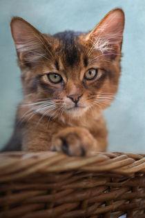 Somali Kitten / 33 by Heidi Bollich