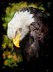 Weißkopfseeadler von Leopold Brix