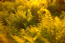 Golden ferns in beautiful midnight sun light by Horia Bogdan