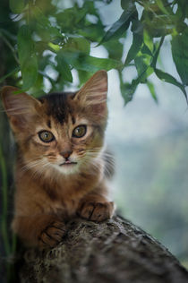 Somali Kitten / 32 by Heidi Bollich