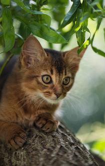 Somali Kitten / 30 von Heidi Bollich