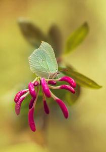 Green Gonepteryx Rhamni butterfly on pink Lonicera by Jarek Blaminsky