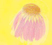 Echinacea in Pink von Linde Townsend
