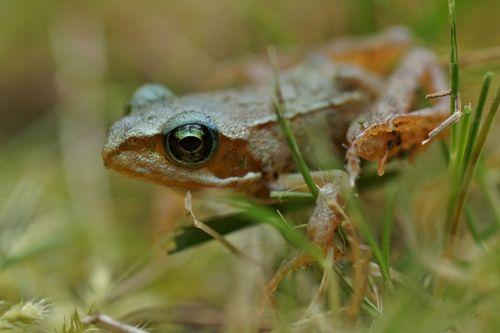 Frosch-001c