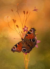 Morning impression with peacock butterfly by Jarek Blaminsky
