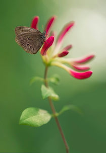 Brown butterfly on pink flowers by Jarek Blaminsky