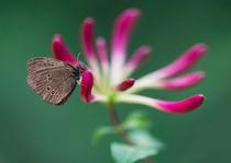 Brown butterfly on pink blooming flowers von Jarek Blaminsky