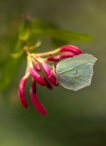 Green Gonepteryx Rhamni butterfly on red Lonicera by Jarek Blaminsky