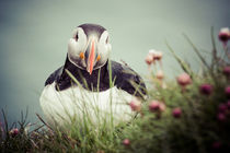 Puffin by Doreen Reichmann
