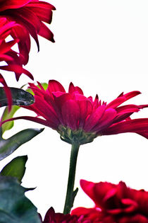 Red Chrysanthemum Flowers by Vicki Field