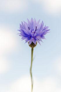 Cornflower von Jeremy Sage