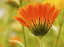 Orange Ringelblume mit Tropfen by Edith Diewald