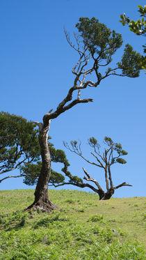 Knorrige alte Bäume von Stephan Gehrlein