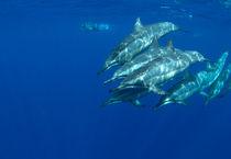 Spinner Dolphins, Delfine von geoland