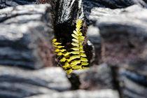 Zartes Pflänzchen in Lavaspalte by geoland