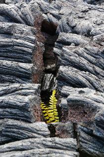 Zartes Pflänzchen in Lava by geoland