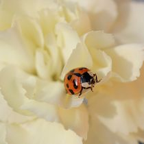 little ladybug  von haike-hikes