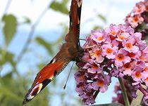 langhaariger Schmetterling - Pfauenauge von Martina Lender-Frase