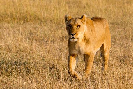 Ewb-lioness-14