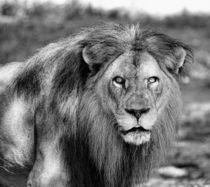 Lion King von O.L.Sanders Photography