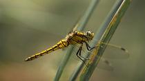 'Goldene Libelle' by Stephan Gehrlein