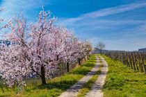 Kaiserstuhl Impressions Spring von Jörg Sobottka