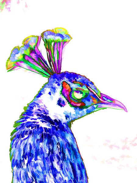 Peacock-closeup