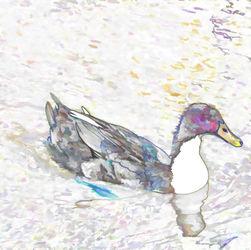 Ducks-swim-in-a-pond-2
