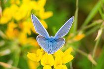 Himmelblauer Bläuling Männchen 1 von toeffelshop