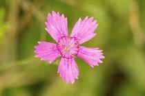 Kleine pinke Blüte von toeffelshop