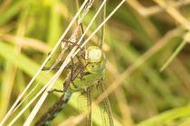 Libelle an Grashalm by toeffelshop
