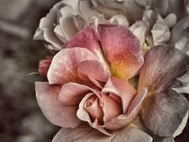 Sorbet Rainbow Rose Vintage Photography ~by bebra von bebra