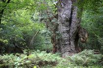 Friederikeneiche, Hasbruch von Wälder und Baumveteranen