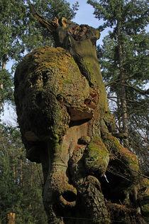 Hutebuche, Tinner Loh von Wälder und Baumveteranen