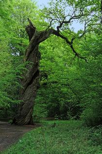 Jagdhütteneiche, Neuenburger Urwald von Wälder und Baumveteranen