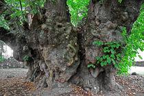 Riesenlinde in Heede von Wälder und Baumveteranen