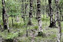 Birkenwald by Wälder und Baumveteranen