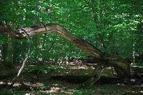 Vergänglichkeit by Wälder und Baumveteranen