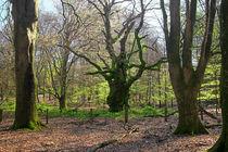 Tinner Loh von Wälder und Baumveteranen